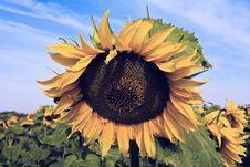 Free Sunflower Royalty Free Stock Image - 6191756