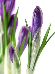 Free Crocus Royalty Free Stock Images - 6192209