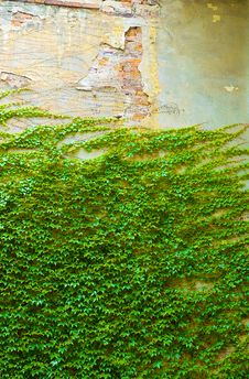Free Ivy On Old Wall Stock Photos - 6193593