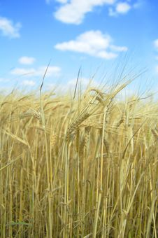 Free Wheat Field Royalty Free Stock Image - 6193626