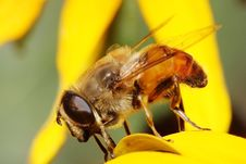 Free Hoverfly Stock Images - 6195384