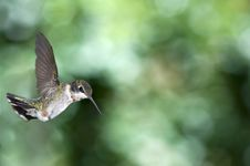 Free Hummingbird Fly-by Stock Photography - 6195462
