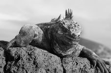Free Marine Iguana Black & White Stock Photos - 6195703