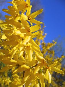 Free Blooming Forsythia Stock Images - 6196634