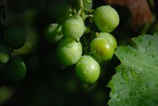 Free Green Grapes On A Dark Background Stock Photography - 6197792