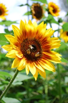 Sunflower With Bees Royalty Free Stock Photo