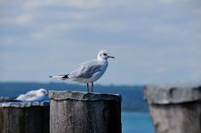 Free Seagull Royalty Free Stock Images - 6199099