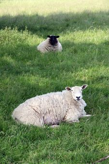 Free Sheep In Field Royalty Free Stock Photography - 6199617