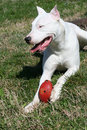 Free Dogo Argentine With Rugby Ball Royalty Free Stock Image - 623476
