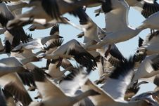 Free Snow Geese Royalty Free Stock Images - 620259