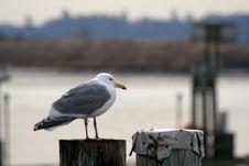 Free Seagull Royalty Free Stock Photos - 620278