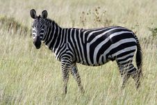 Free Zebra Royalty Free Stock Images - 620339