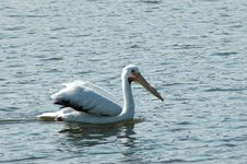 Free Pelican Royalty Free Stock Photo - 621095