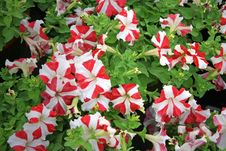Free Striped Red And White Flowers Stock Image - 621111