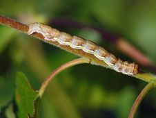 Free Caterpillar Of The Butterfly Of Family Geometridae. Stock Image - 621651