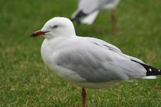 Free Seagull, Are You Looking At Me Royalty Free Stock Photos - 621918