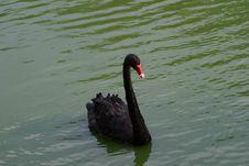 Free Black Swan Royalty Free Stock Image - 622046