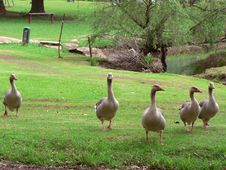 Free Five/5 Geese Royalty Free Stock Images - 622119