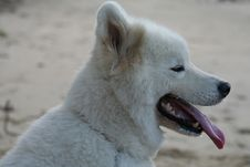 Free White Samoyed Stock Photography - 622152