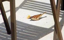 Free Sparrow Stock Photography - 622502