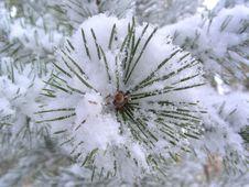 Free Pine Royalty Free Stock Photos - 622548
