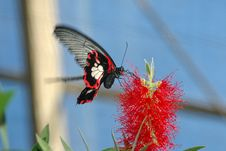 Free Large Mormon (papilio Memnon) On Red Flower Stock Photography - 622612