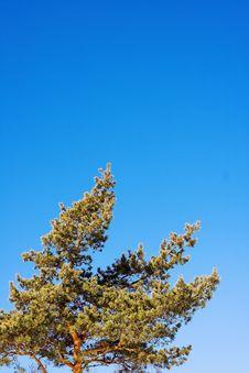 Free Pine Stock Photo - 623380