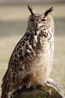 Free Eagle Owl Royalty Free Stock Photos - 623528