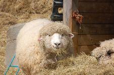 Free Sheep Stock Photos - 624163