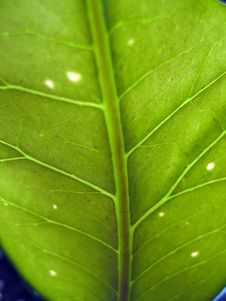 Free Green Leaf Veins Royalty Free Stock Images - 624249