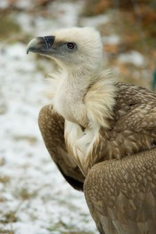 Vulture Stock Images