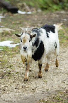 Free Goat Stock Image - 624971