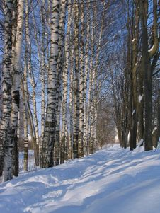Free Winter Birches Royalty Free Stock Image - 625056