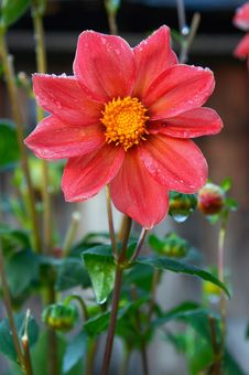 Free Red Flower Stock Image - 625241