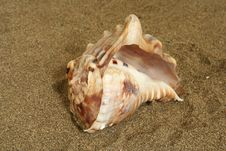 Free Seashell Royalty Free Stock Photography - 625367