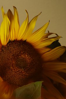 Free Hello Sunflower W. Light Brown Mask Royalty Free Stock Photography - 625517