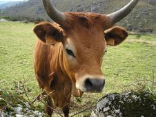 Free Nice Cow Stock Images - 626464