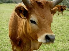 Free Two Cows Royalty Free Stock Photo - 626465