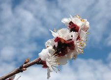 Free Apple Tree Blossom Against The Sky Stock Images - 626554