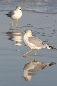 Free Gull Reflection Stock Photos - 626993