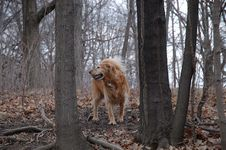 Free Golden Retriever Royalty Free Stock Photos - 627618