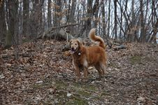 Free Golden Retriever Royalty Free Stock Images - 627619
