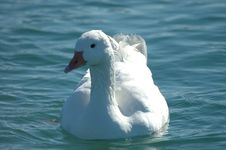Free White Goose Stock Photography - 627622