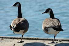 Pair Of One -Legged Geese Stock Photos