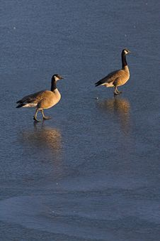 Free Canadian Geese On Frozen Lake Stock Image - 627641