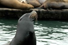 Free Sea Lion Stock Photos - 627803