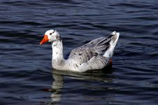 Free Greylag Swimming Royalty Free Stock Images - 628059