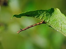 Free Caterpillar Of The Butterfly Of Family Geometridae. Royalty Free Stock Images - 628099