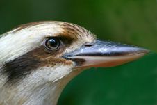 Free Kookaburra Royalty Free Stock Photo - 628145