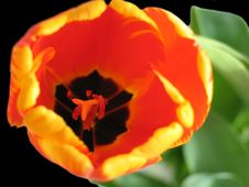 Free The Nice Tulip Stock Images - 628344